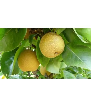 Fruit Asian Pear Hosui