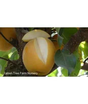 Fruit Asian Pear Shinko