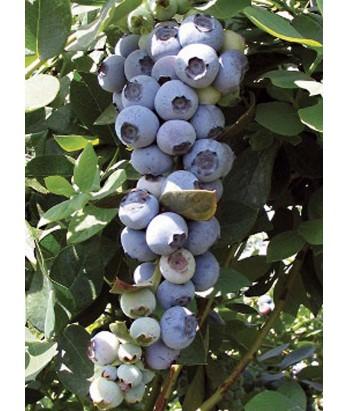 Fruit Blueberry Emerald
