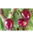 Fruit Cherry Bing