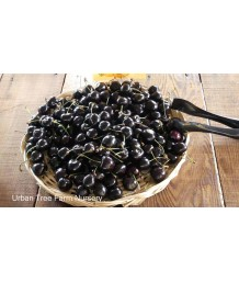 Fruit Cherry Black Tartarian