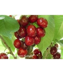 Fruit Cherry Lapins