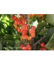 Fruit Cherry Raineer