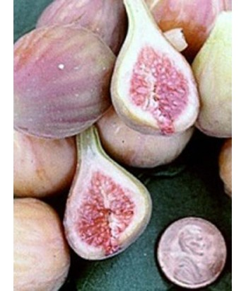 Fruit Fig Celestial