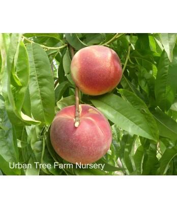 Fruit Peach Babcock