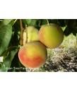 Fruit Peach Elberta