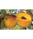 Fruit Peach Suncrest