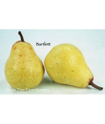 Fruit Pear Bartlett