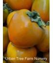 Fruit Persimmon Hachiya