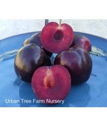 Fruit Plum Burgundy