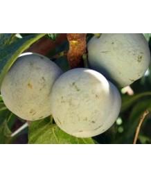 Fruit Plum Green Gage (Bavays)