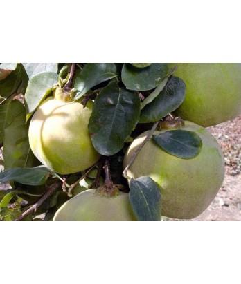 Fruit Quince Orange