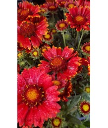 Gaillardia grandiflora 'Arizona Red Shades'