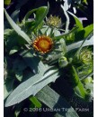 Gaillardia grandiflora 'Arizona Sun'