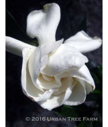 Gardenia jasminoides 'August Beauty' STD