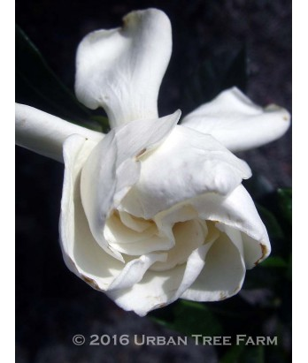 Gardenia Jasminoides U0027August Beautyu0027 STD