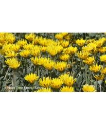 Gazania 'Clump Yellow'