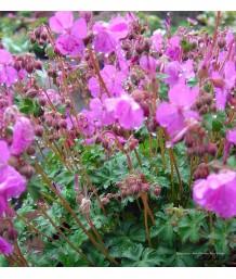 Geranium x cantabrigiense 'Westray'