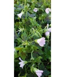 Geranium oxonianum 'Katherine Adele'