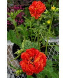 Geum x 'Double Bloody Mary'