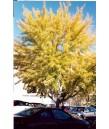 Ginkgo b. Autumn Gold
