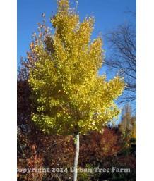 Ginkgo biloba 'Autumn Gold' STD