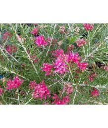 Grevillea rosmarinifolia 'Scarlet Sprite'