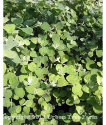 Helichrysum petiolare 'Limelight'