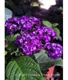 Heliotropum a. Fragrant Delight