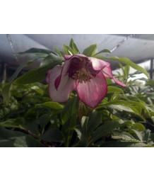 Helleborus hybridus 'Cherry Blossom'