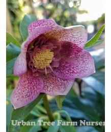 Helleborus orientalis 'Tutu'