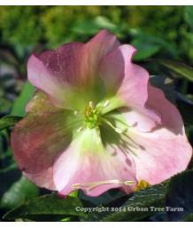 Helleborus orientalis 'Empathy'