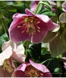 Helleborus orientalis 'Pink'