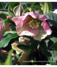 Helleborus orientalis 'Sympathy'