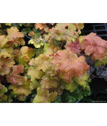 Heuchera x 'Amber Waves'