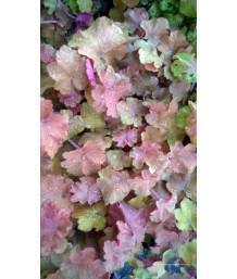 Heuchera villosa 'Caramel'  (PPAF)