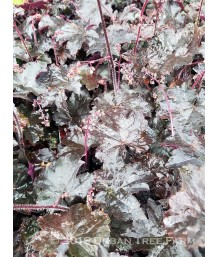 Heuchera x 'Blackout' (PPAF)
