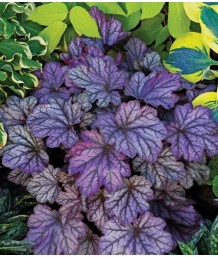 Heuchera x 'Dolce Blackberry Ice'