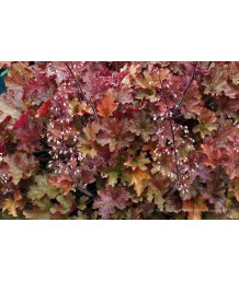 Heuchera x 'Ginger Peach'