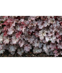 Heuchera x 'Plum Pudding'