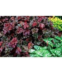 Heuchera x 'Purple Petticoats'