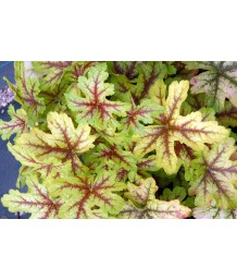 Heucherella x 'Alabama Sunrise'