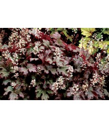 Heucherella x 'Cracked Ice'