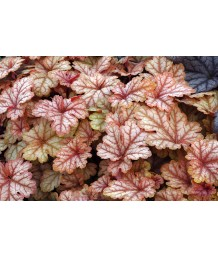 Heucherella x 'Honey Rose'