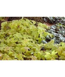 Heucherella x 'Sunrise Falls'