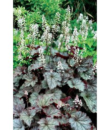 Heucherella x 'Twilight'