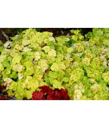 Heucherella x 'Yellowstone Falls'