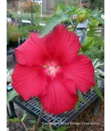 Hibiscus m. Fireball