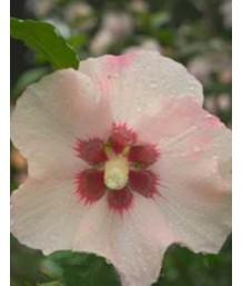 Hibiscus syriacus 'Blush Satin'