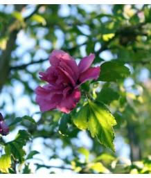 Hibiscus syriacus 'Collie Mullins' STD